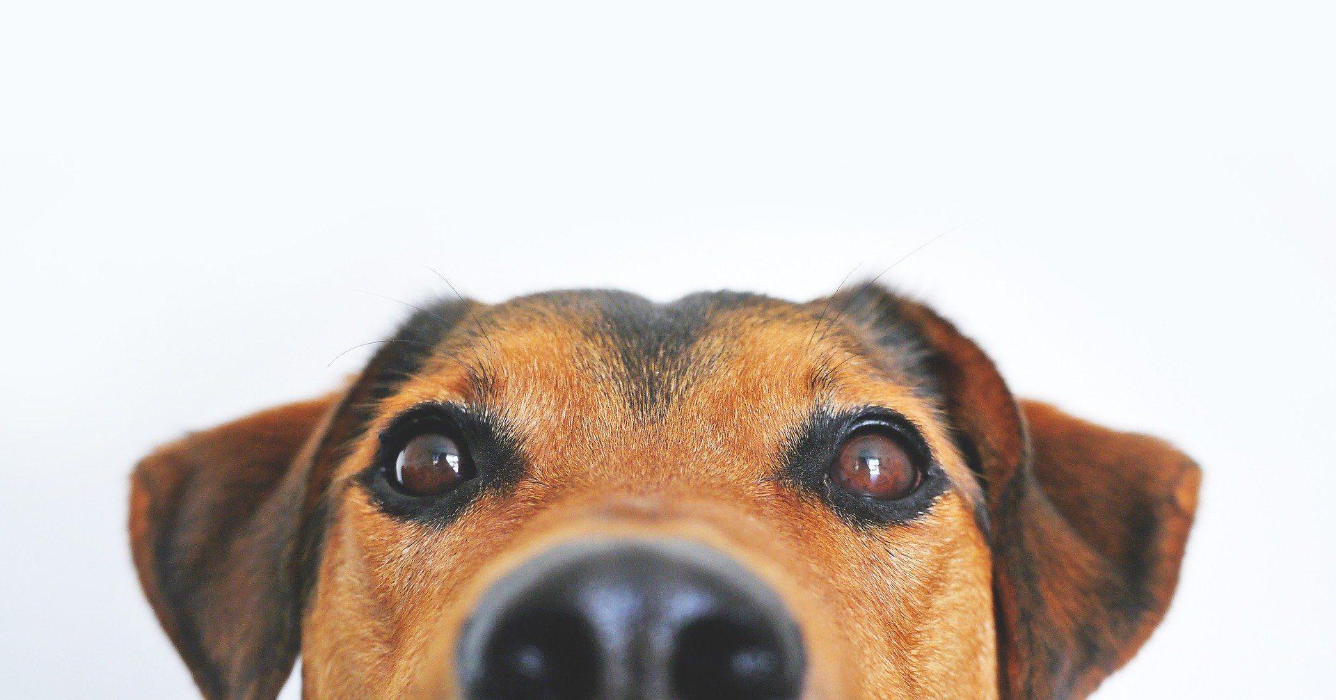 dog's eyes closeup, Dog Training classes