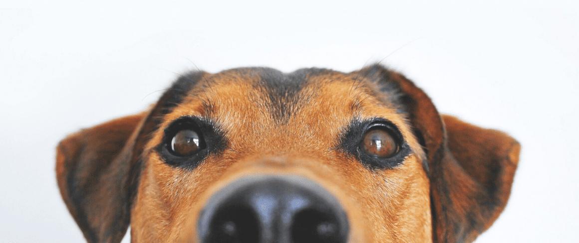 dog's eyes