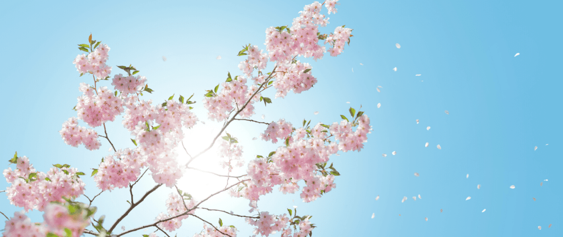 cherry blossoms against the sky