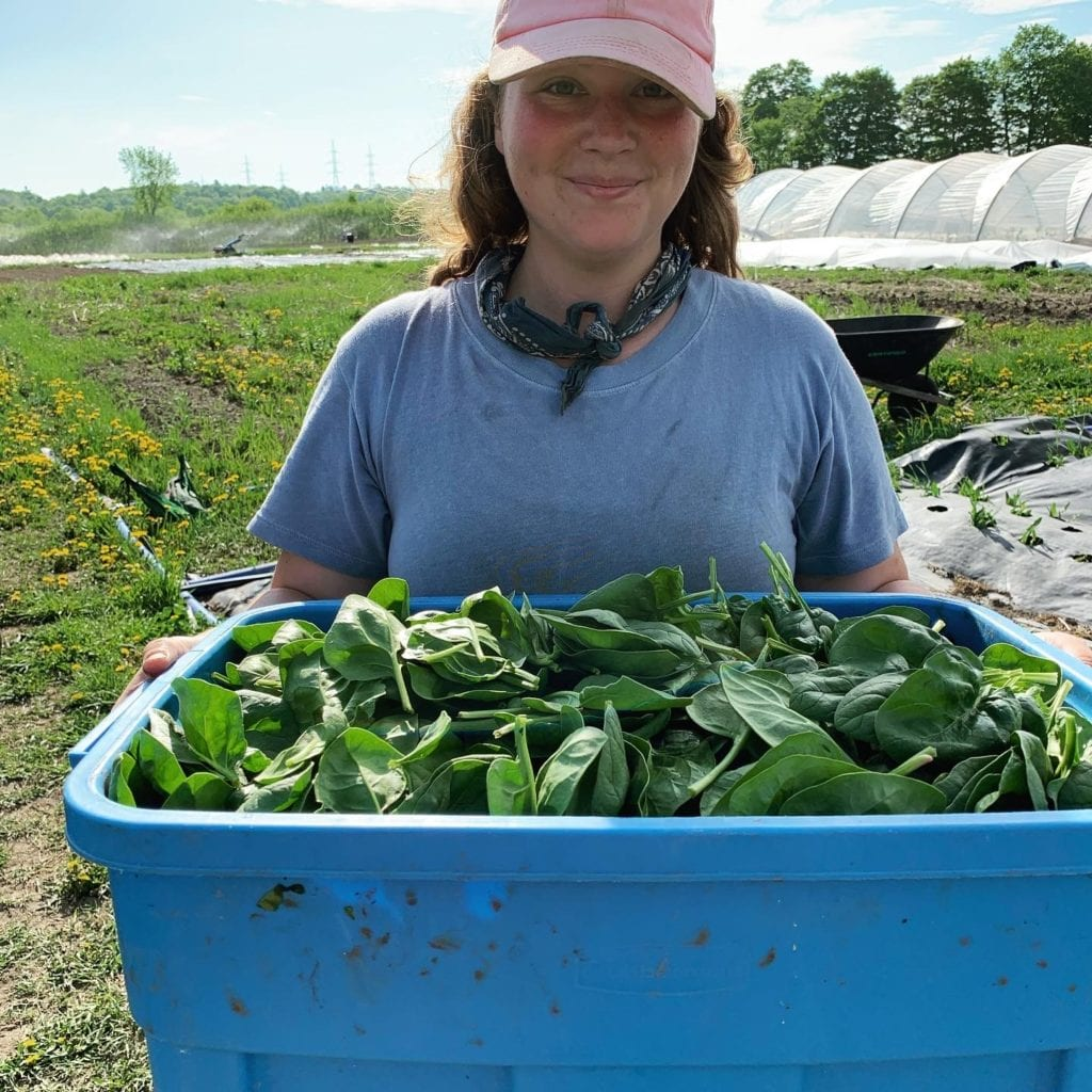 larkspur farms - bin of fresh spinach